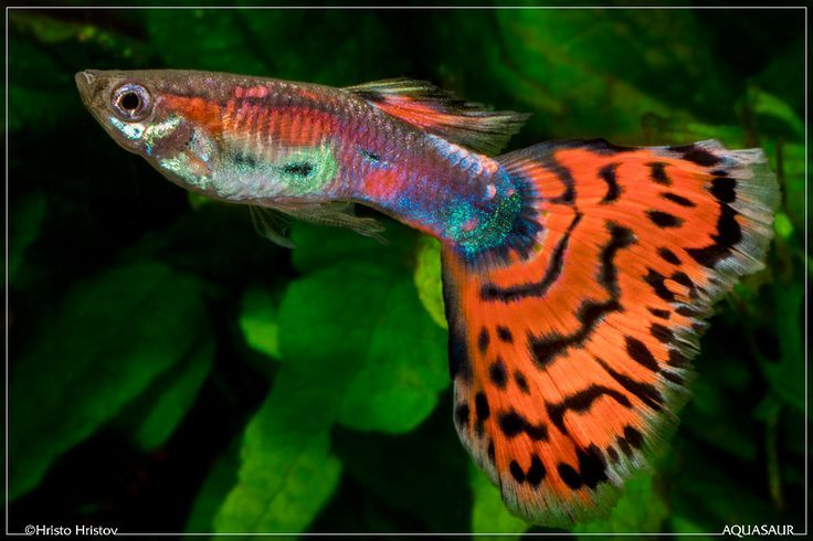 35 Different Types Of Guppies In The World With Beautiful Pictures Guppy Fish Guppy Fresh Water Fish Tank
