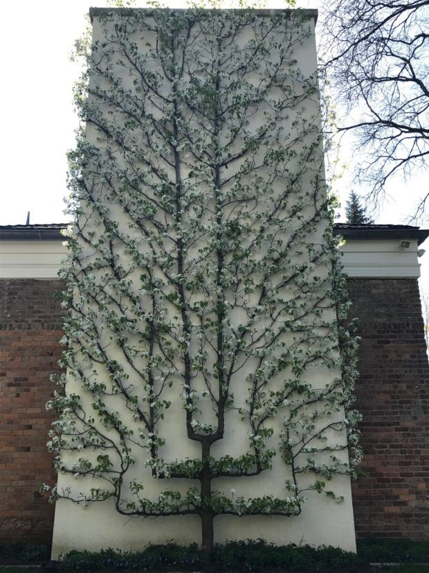 One of the most astonishing espalier trees ever.
