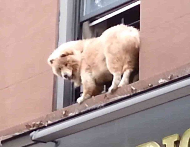 Brooklyn 911: Dog Rescued From Window Ledge  ... from PetsLady.com ... The FUN site for Animal Lovers