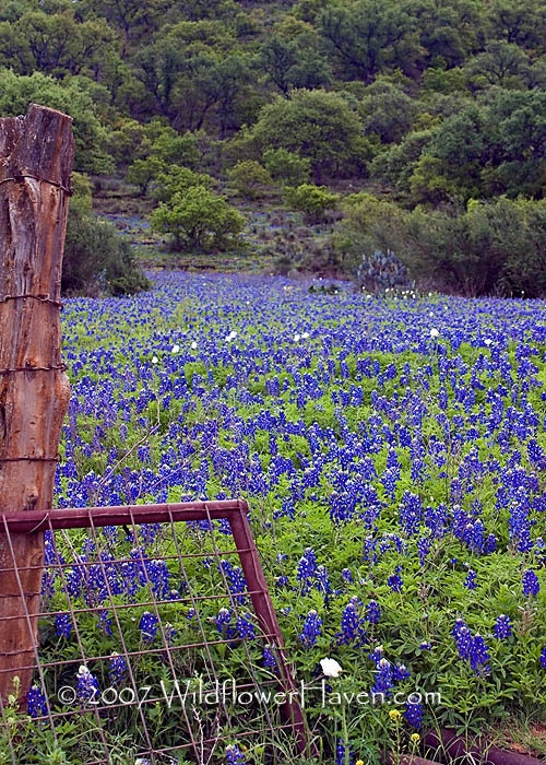 Texas Bluebonnets ~ I love this time of year!                                                                                                                                                                                 More