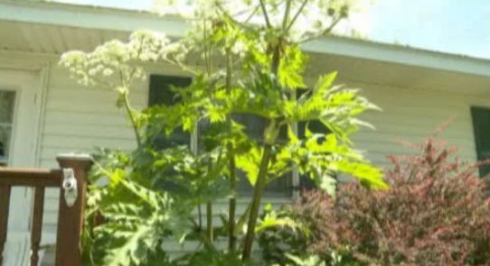Illegal, highly toxic hogweed plants are popping up in Mid-Michigan | News  - Home