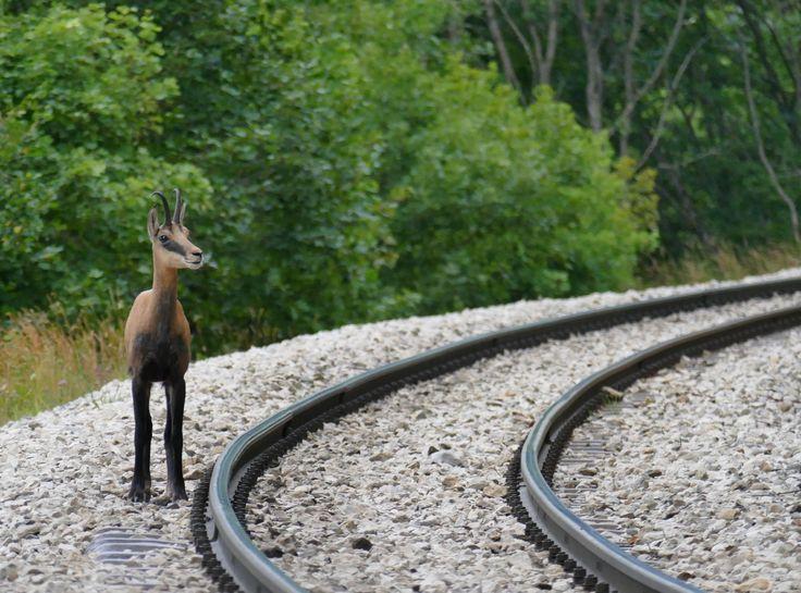 Petit chamois attendant le train (St-Cergue, juillet 2015)