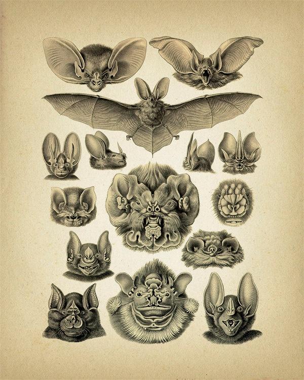 Bats Collage by Haeckel - 8x10 - Fine art print of a vintage natural history antique illustration.. $11.50, via Etsy.