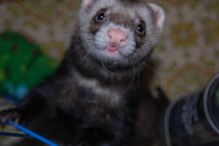 Silk! Sticking his lil tongue out at me. <3To Kim, Lil Tongue