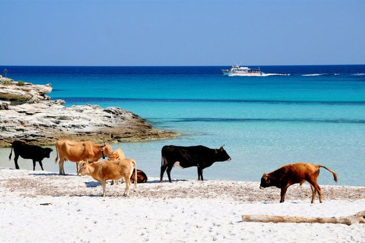 The real happy cows are not in California but in St. Florent