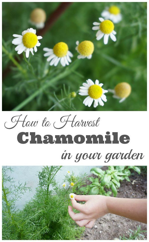 How to Harvest Chamomile - Tips and tricks for harvesting and drying chamomile. | Gardening Tips | Gardening with Kids | Kids in the Garden | Herb Garden | Garden How to |