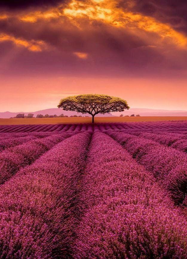 Provence Campos de Lavanda