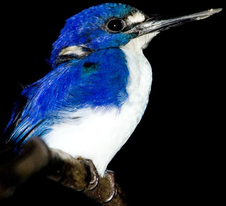 Kingfisher in the Daintree Rainforest of Australia