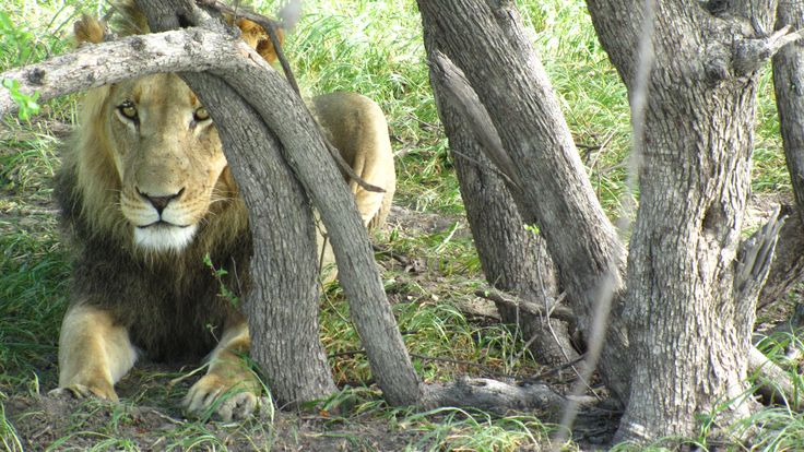 One of the incredible black-maned lions from the Kalahari #black-manedLions #Lions #Kalahari #CKGR #Botswana #Haina