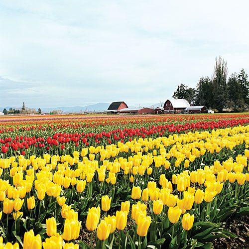 Take in tulip season in skagit valley wa beautiful for What season are tulips