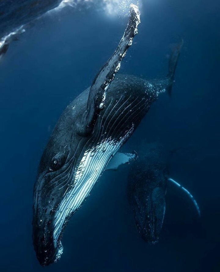 The Best Humpback Whale Ideas On Pinterest Whales Whale And - Rare moment 40 ton whale jumps completely out of the water