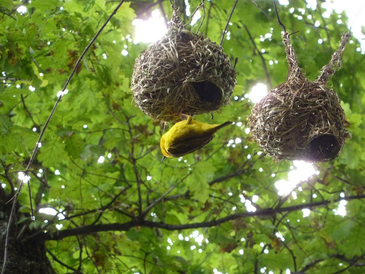 delheim-weaver-nest