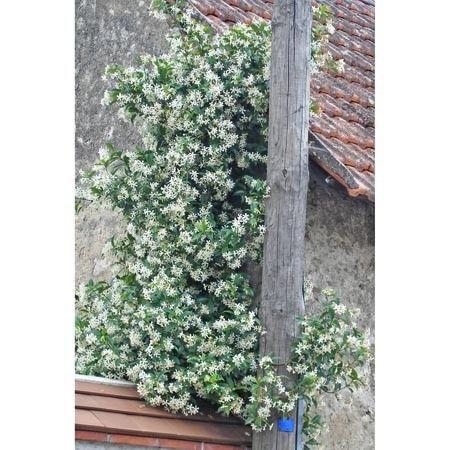 1000 id es sur le th me trachelospermum jasminoides sur pinterest plant de jasmin feuilles. Black Bedroom Furniture Sets. Home Design Ideas