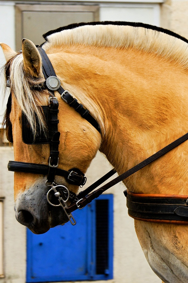 Norwegian Horse - captured in harness in South-West France