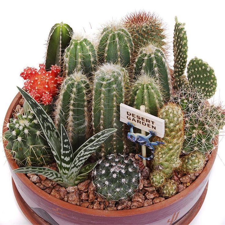 how to take care of a saguaro cactus