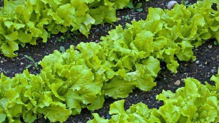 Съедая всего несколько листочков в день вы обеспечите себя поливитаминным комплексом. Они содержат множество полезных компонентов.