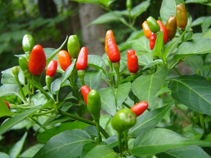 Plantas peligrosas t xicas y venenosas en el hogar for Plantas para jardin japones