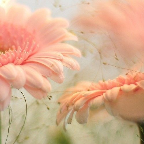 delicateWall Art, Pink Flower, Gerber Daisies, Gerbera Daisies, Soft Colors, Soft Pink, Beautiful, Pale Pink, Gardens