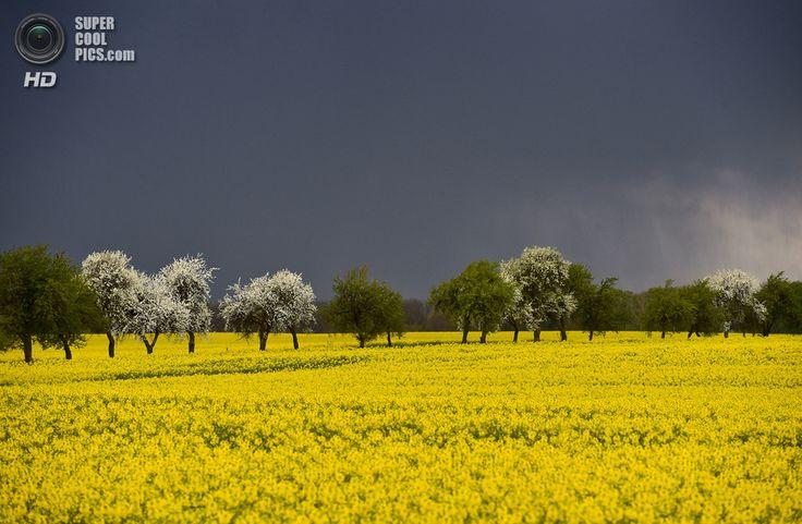 Almanya. Zeschdorf, Brandenburg. 14 Nisan. Bir kanola alanın üzerine Fırtına bulutları. (AP Photo / dpa, Patrick Pleul)