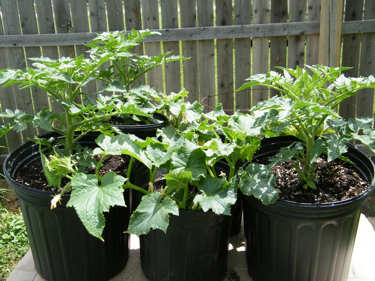 These Patio Tomatoes And Pickling Cucumbers Did Outstanding In These  Re Used One Gallon Pots