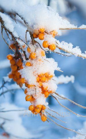 Ann-Kristina Al-Zalimi, Hippophae rhamnoides, tyrni, sea buckthorn, havtorn, seaberry, finland, skandinavia, flora, berry, tree
