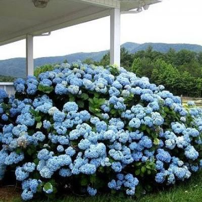 Rooting Hydrangea Cuttings {Gardening} Plants can be expensive, here is a post featuring a way to make one plant go a little further. You'll learn how to cut and re-plant hydrangea cuttings to make new plants. A great way to create beautiful curb appeal with lots of hydrangea bushes!