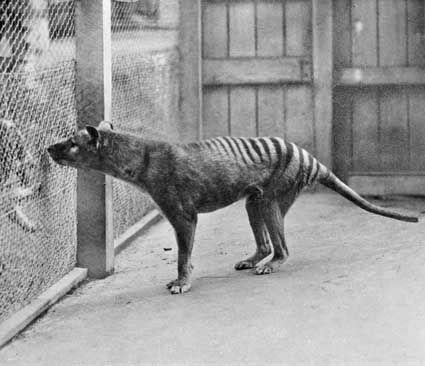 LOUP de Tasmanie ou encore TIGRE de Tasmanie, était un mammifère marsupial carnivore de la taille d'un loup, au pelage tigré. Depuis 1936, l'espèce est considérée comme éteinte.