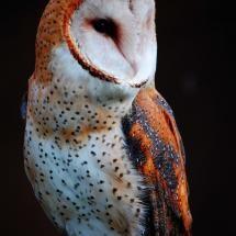owlCheryl Rendino, Cool Owls Pictures, Barns Owls, Owls 3, Birds, Owls Portraits, Beautiful Creatures, Animal, Barn Owls