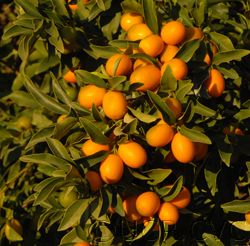 One of the ways I know it's kumquat season is that I look out into my backyard. When I moved into my house 12 years ago, I was pleasantly surprised to find that I had an orange and a kumquat tree i…