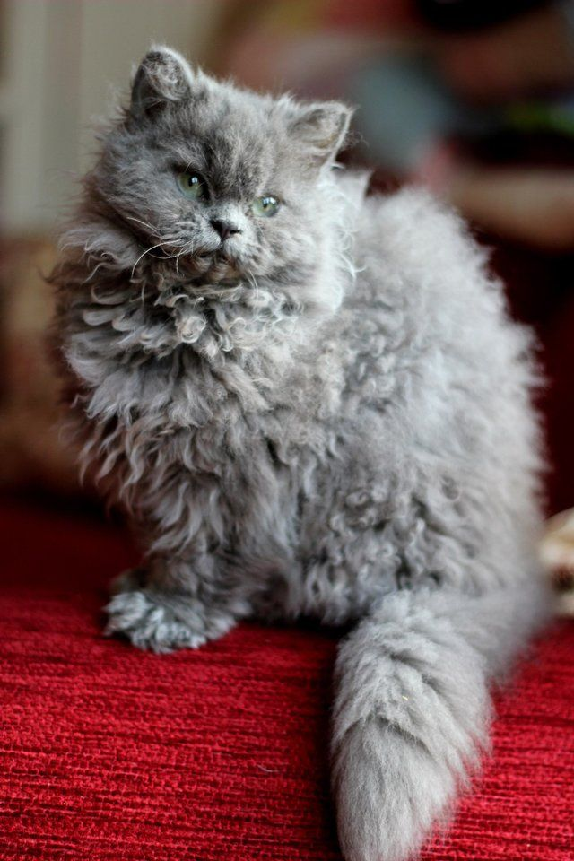 selkirk rex - curly kitty