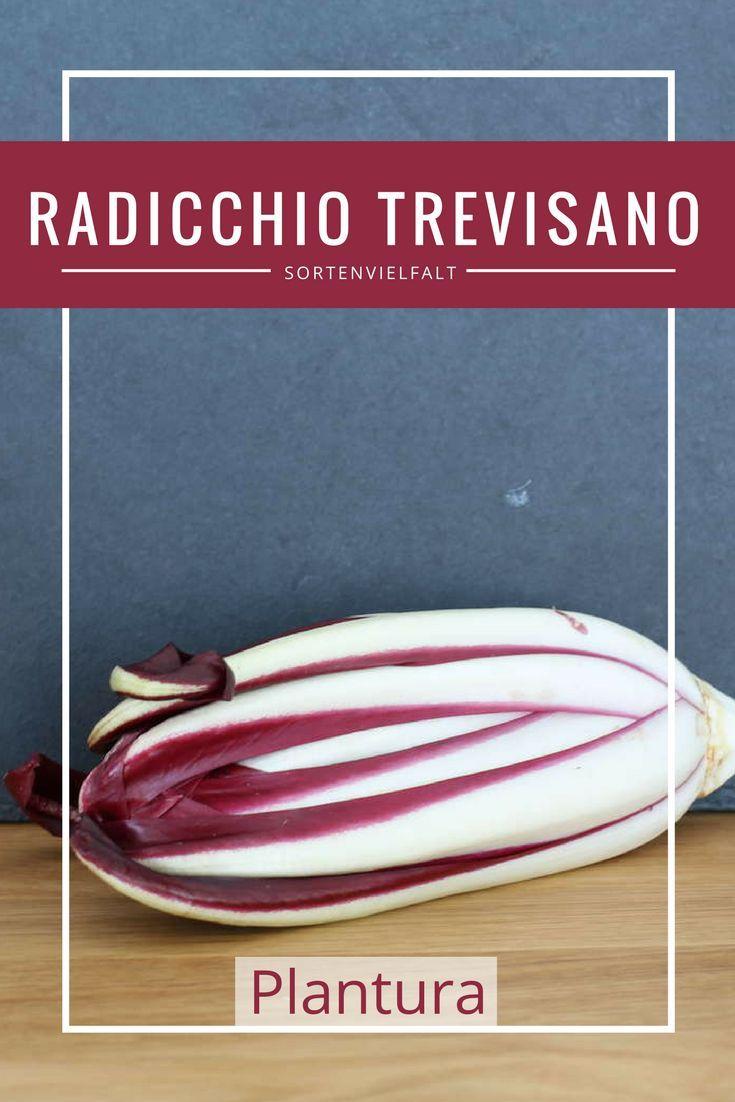 Der Radicchio Trevisano ist eine leckere und besondere Salatsorte aus Italien. Insbesondere im Winter ein wahrer Gaumenschmaus! Radicchiosorten gibt es in verschiedenen Formen (länglich, rund). Mehr erfahrt Ihr auf Plantura.
