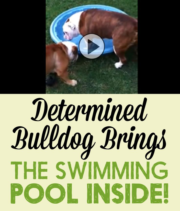 Determined Bulldog brings the swimming pool inside!