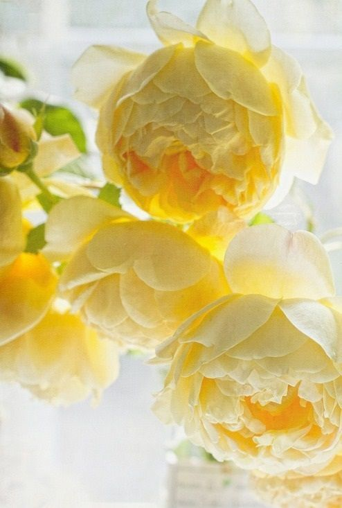Lovely, light golden-yellow Peonies bring a touch of the Victorian to whichever spot they adorn, enrapturing all who pass with their delicate, sweet fragrance. - EHH