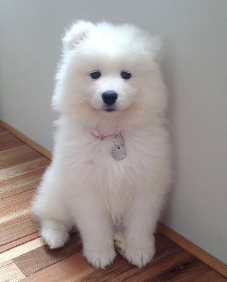 Everything you want to know about samoyed including