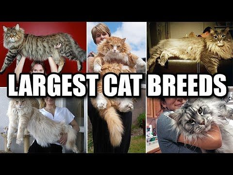We all love cats, both domestic and wild. In fact, we're probably all wondered what it'd be like to snuggle up against a lion's mane before.Check this video about largest cats.