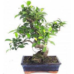 Pokojové bonsaje - prodej - Svět bonsaji.cz