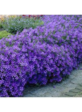Campanula portenschlagiana wit of paars, let op kies effen bloemkleur. Zon, halfschaduw , doet t goed in bloembakken, hoogte 15 cm, bloei juni-aug, wintergroen