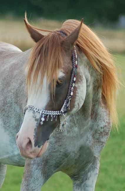 Windsong Firefrost - Chestnut Extreme Sabino Stallion