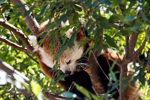 Sleeping red panda in a tree, tongue out San diego Zoo 2011San Diego Zoo