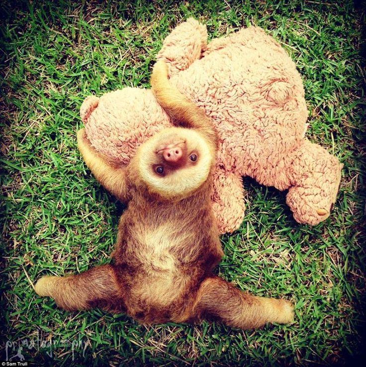 Adorable pictures of orphaned baby sloths enjoying a VERY slow life