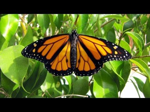 This is a video showing the full lifecycle of the Monarch butterfly. The video provides you with facts about each stage of the lifecycle and describes what is happening all throughout the movie.