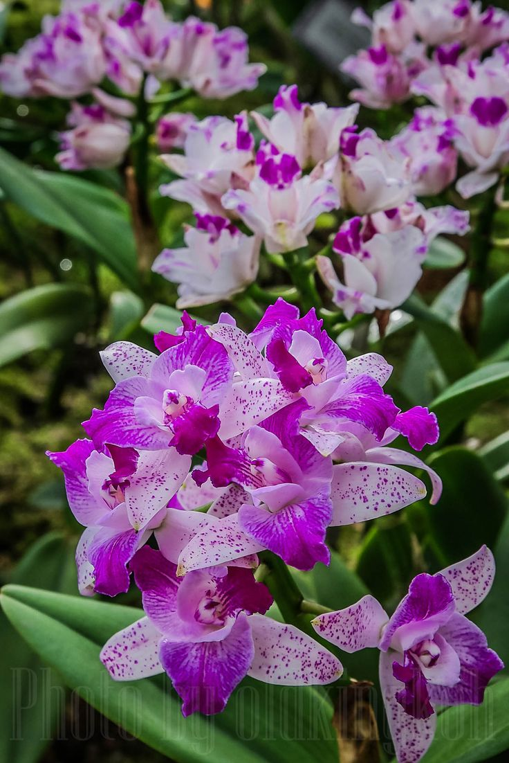 #flora #cattleyaorchidseries #lovenature #cloudforest