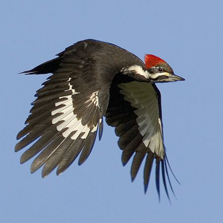 Woodpecker. ..Birds in Flight Photography Tips http://www.stokesbirdingblog.blogspot.com/2013/01/birds-in-flight-photography-tips.html