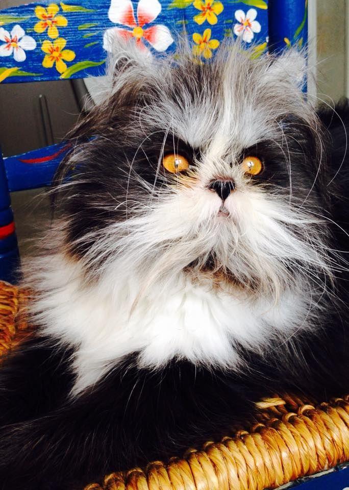 Le nouveau chat «vedette» du web, Atchoum, vient de Repentigny