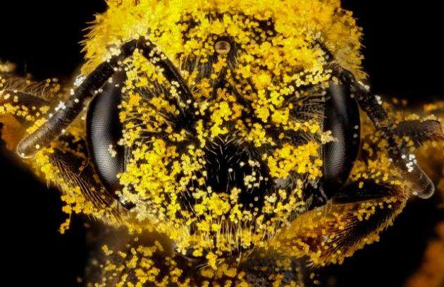 Un'ape mellifera, interamente coperta da materia prima, il polline (vedi <a href=http://www.focus.it/ambiente/animali/faccia-a-faccia-con-le-api target=_blank>Faccia a faccia con le api</a>).