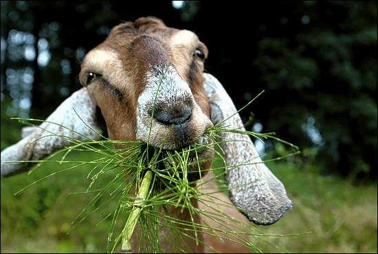 Everybody is happy in Sardinia. Goats too. Sardegna