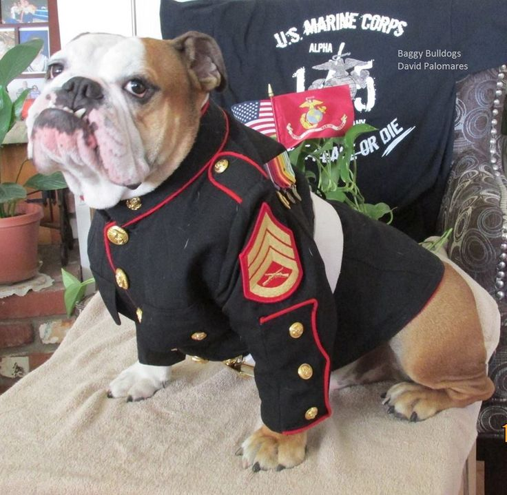This guy is a Mascot for the U.S. Marine Corps! What a guy!   :)