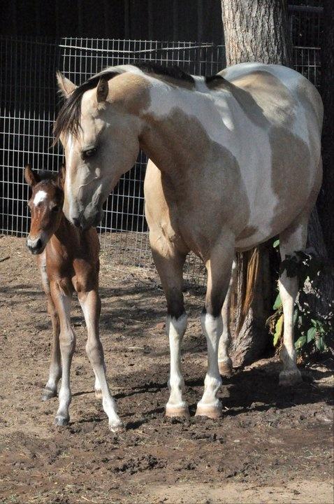 palomino foal - photo #26