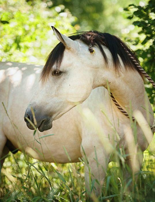 Buttermilk Buckskin. Buckskins do not have the dorsal stripe, shoulder and leg barring that duns have.