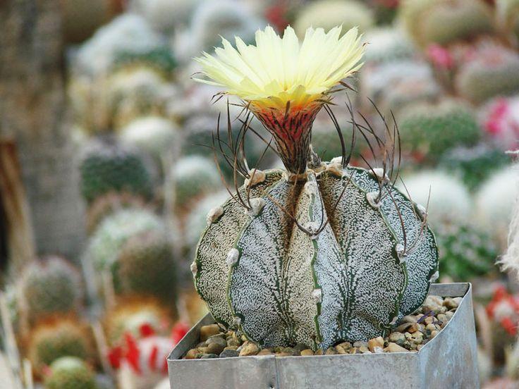 Астрофитум козерогий - Astrophytum capricorne, астрофитум фото